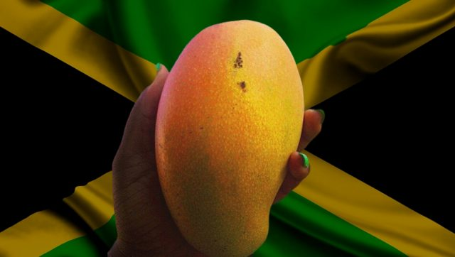 Jamaica to start exporting mangoes to USA in May
